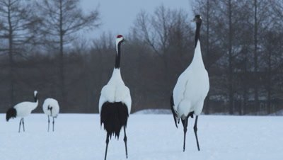 A pair of red crowned cranes dancing in Japan