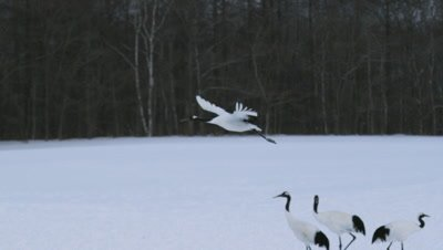 Red crowned crane flying in Japan