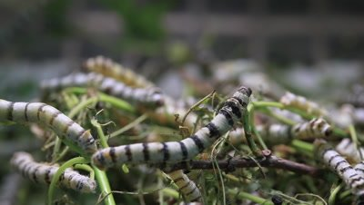 Silkworm, Taiwan, Taipei