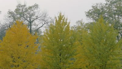 Ginkgo Tree, Beijing, China
