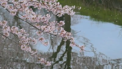 Cherry blossoms along Ebi River in Chiba, Japan