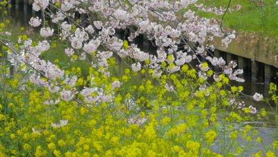 Cherry blossoms and mustard flower in Chiba, Japan