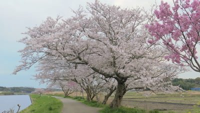Cherry blossoms along Shinkawa River in Chiba, Japan
