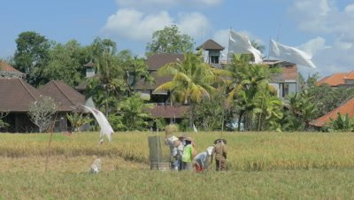 Rice Harvest in Paddy Ubud, Bali, Indonesia