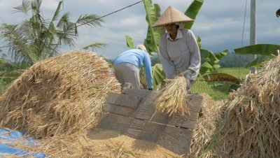 Separating Rice Grain from Stalks in Jatiluwih, Bali, Indonesia