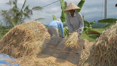 Separating Rice Grain from Stalks in Jatiluwih, Bali, Indonesia