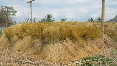 Bundle of Rice Stalks in Jatiluwih, Bali, Indonesia
