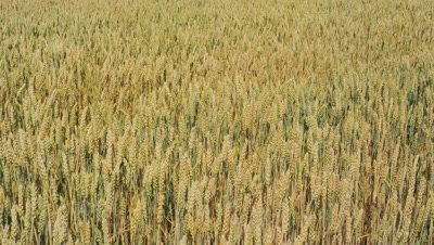 Wheat swinging with breeze in Biei, Hokkaido, Japan