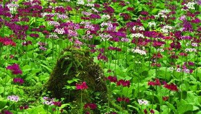 Japanese primroses at park in Gifu, Japan
