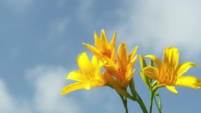 Daylilies and blue sky in Japan