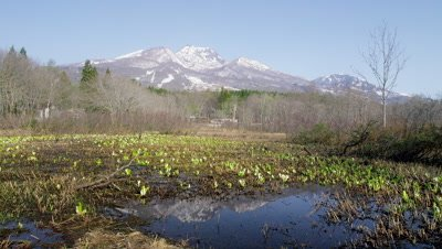 Skunk cabbage plant in Imoriike Pond, Myoko City, Niigata Prefecture, Japan