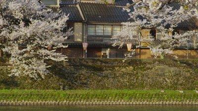 Cherry blossoms in Kazuemachi Chaya District, Kanazawa City, Ishikawa Prefecture, Japan