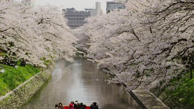 Matsukawa river cruise under cherry blossoms, Toyama City, Toyama Prefecture, Japan