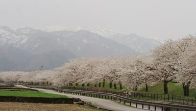 Cherry trees in bloom along Kurobe River, Nyuzen Town, Shimoniikawa District, Toyama Prefecture, Japan