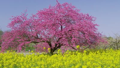 Peach blossoms and rapeseed flowers in Chikuma Riverside Park, Obuse Town, Kamitakai District, Nagano Prefecture, Japan