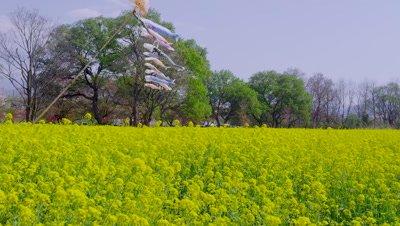 Koinobori and rapeseed flowers in Chikuma Riverside Park, Obuse Town, Kamitakai District, Nagano Prefecture, Japan