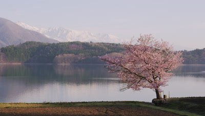 Cherry blossoms and Lake Aoki, Omachi City, Nagano Prefecture, Japan