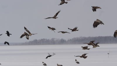 Steller's Sea Eagles at Lake Furen in Hokkaido, Japan