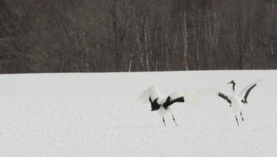 A pair of red crowned cranes dancing in Hokkaido, Japan