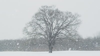 Japanese elm tree in winter, Hokkaido, Japan