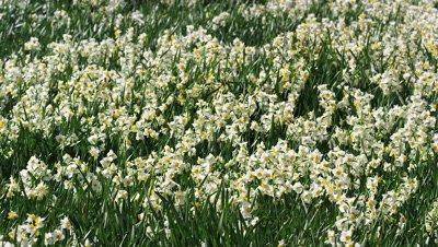 Daffodil field in Shizuoka, Japan