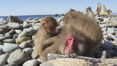 Monkeys grooming at Hagachizakien in Shizuoka, Japan