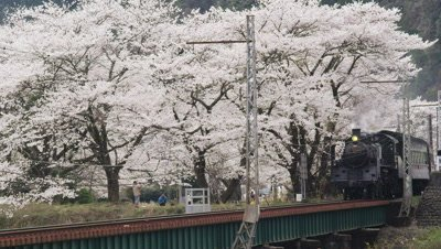 Steam locomotive and cherry blossoms, Oigawa Railway, Shizuoka Prefecture, Japan