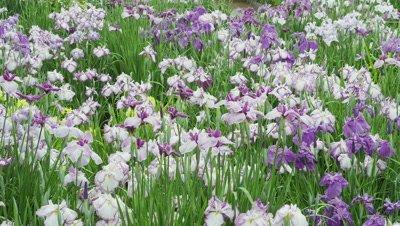 Iris flowers at Kaisei Hydrangea Festival, Kanagawa, Japan