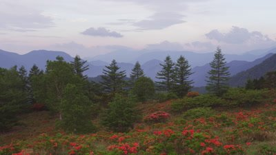 Azaleas bloom on Mt. Amari, Yamanashi, Japan
