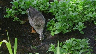 Spot-billed duck in Kakita River, Shizuoka, Japan