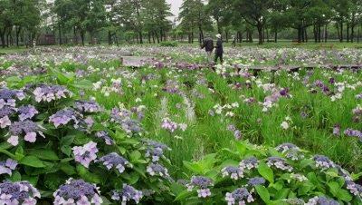 Iris flowers at Mizumoto Park, Tokyo, Japan