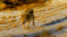 Grey Wolf Running Down Snow Covered Hill After Pack Members