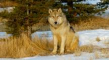 Grey Wolf Looking Intently Alert