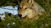 Grey Wolf Looking Intently Alert