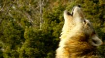Grey Wolf Howling To Pack Members