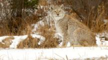 Eurasian Lynx Walking And Watching Intently