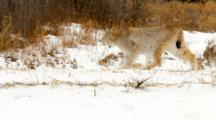 Eurasian Lynx Walking In And Out Of Frame