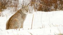 Eurasian Lynx Watching Intently