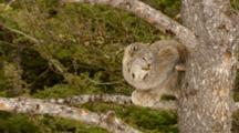 Lynx Resting On Tree Limb
