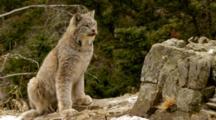 Lynx Looking Alert