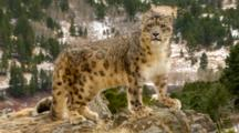 Snow Leopard Watches Movement