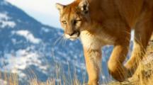 Mountain Lion Walks And Stalks