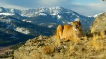 Mountain Lion Watches Intently With Mountains In The Background