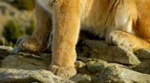 Mountain Lion Paws