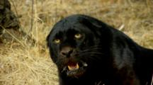 A Black Leopard Snarls