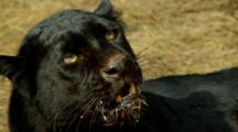 A Black Leopard Snarls