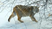 Bobcat Watches Intently While Walking On Frozen Creek