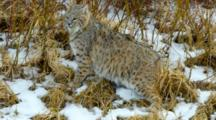 Bobcat Watches Intently While Foraging On Frozen Creek