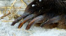 Grizzly Bear Claws On Front Paw