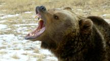 A Grizzly Bear Growling And Snarling